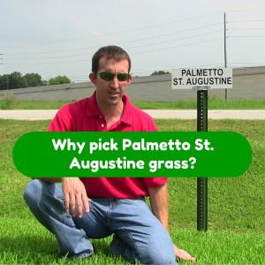 Why Pick Palmetto St. Augustine grass